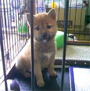 豆太郎(柴犬)